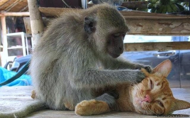 Comme chat et singe